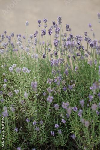 Montage in der Fensternische Darknightsky Lavender garden during summer
