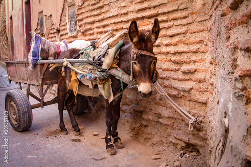 A donkey harnessed to a cart on a narrow street in a midin. The old city in Marrakesh. Morocco Africa