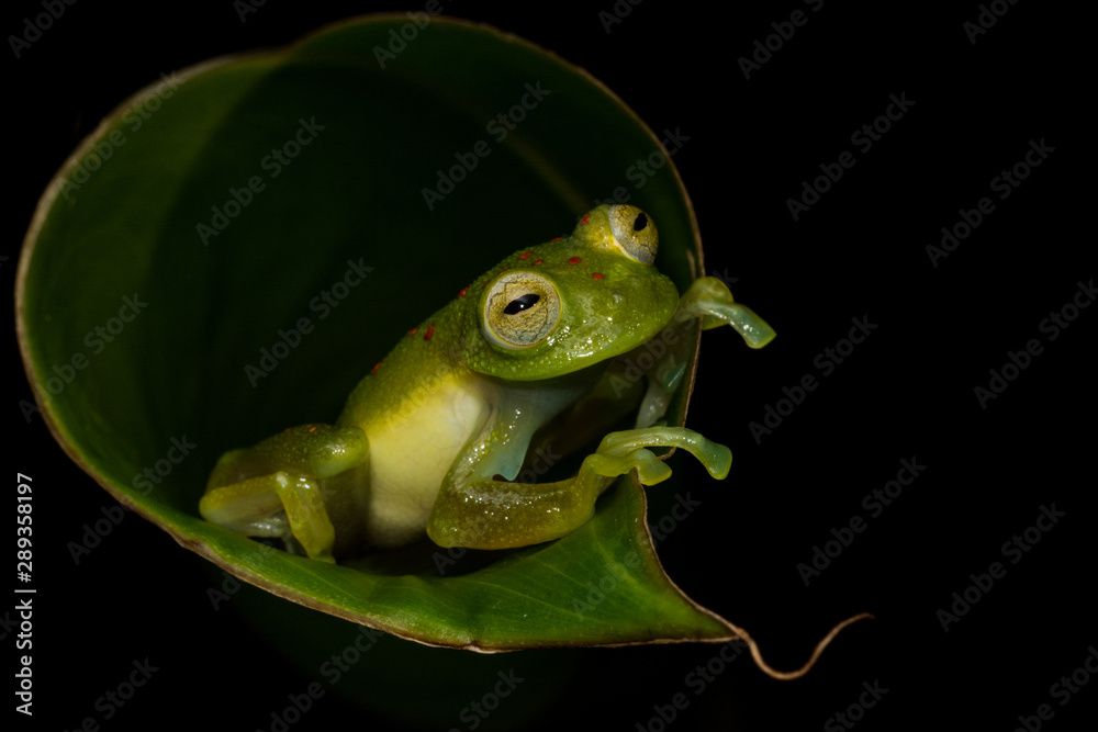 Red-spotted Glass Frog (Nymphargus grandiosonae)