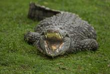 Crocodile (Crocodylidae), Kwaz...