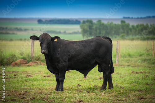 Photo Angus bulls and cows, grazing on pasture, in Brazil