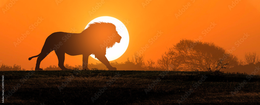 Fototapeta African landscape at sunset with silhouette of a big adult lion