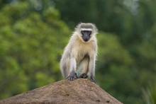 Vervet Monkey-Singe Vervet (Ch...