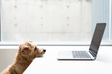 Norfolk Terrier Dog Watching L...
