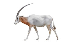 Wildlife Africa Scimitar Oryx Iisolated On White Background. Clipping Path Included.