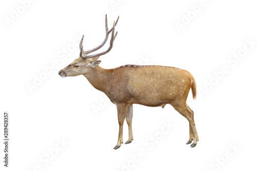 Poster Cerf deer isolated on white background with clipping path