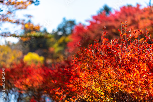 Close-up Enkianthus ( Dodan-Tsutsuji ) fall foliage in sunny day. beautiful autumn landscape background