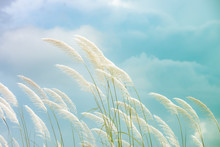 Reeds Grass Background In Gentle, Reeds Grass Is A Natural Background That Feels Romantic.