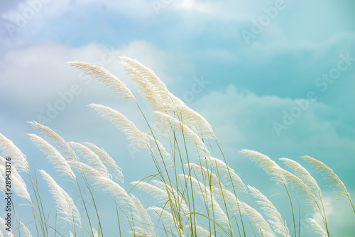 Garden Poster Light blue reeds grass background in gentle, reeds grass is a natural background that feels romantic.