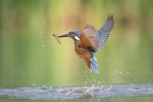 A Male Kingfisher Alcedo Atthi...