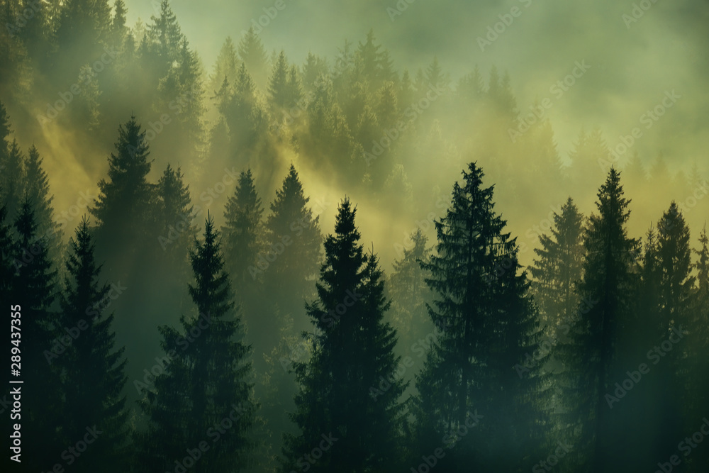 Incredibly beautiful sunrise in the mountains. Coniferous trees in the fog and the rays of the sun through the foggy forest.