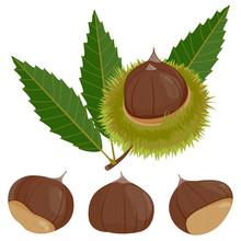 Sweet Chestnut Plant And Fruit. Vector Illustration.