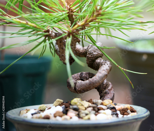The shape of a bonsai after bending with a wire for too long ... on bonsai accessories, indoor bonsai, bonsai lamps, national bonsai foundation, bonsai starter, bonsai copper wire, bonsai cultivation and care, bonsai tools, bonsai blue, bonsai shapes, bonsai wire sets, bonsai artist, bonsai wire sizes, bonsai without wires, bonsai ficus varieties, bonsai jade, bonsai tree,