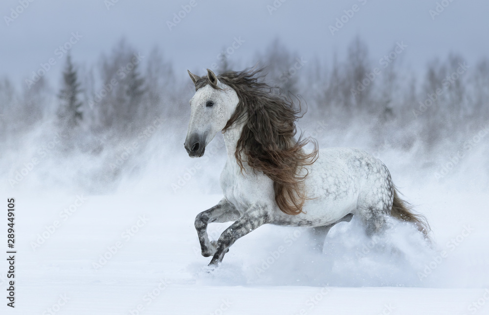 Fototapety, obrazy: Gray long-maned Spanish horse galloping during snowstorm.