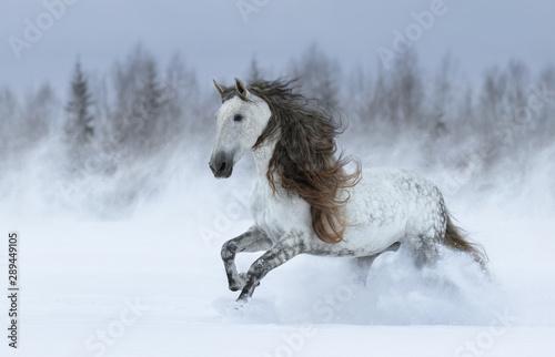 Fotografie, Obraz Gray long-maned Spanish horse galloping during snowstorm.