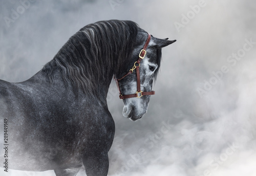 Poster Paarden Portrait of gray Purebred Spanish horse in smoke.