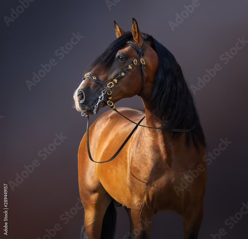 Foto op Canvas Paarden Spanish Horse in traditional baroque bridle on dark background.