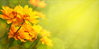 Leinwandbild Motiv Yellow flowers with the option of tinting. Flower panorama for spring and summer. Heliopsis flowers in soft light on a blurred background for design and decoration.