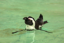 Penguin Bird Swims