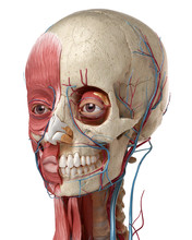 3D Anatomy Illustration Of Hum...