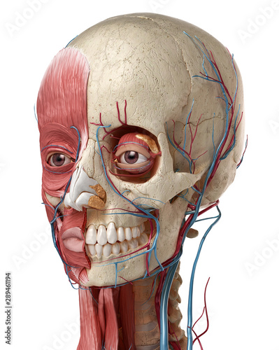 Photo 3D anatomy illustration of human head with skull and muscles.