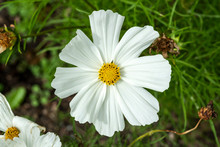 Cosmos Bipinnatus 'Sonata White' A Summer Flowering Plant Native To  America Commonly Known As Garden Cosmos Or Mexican Aster