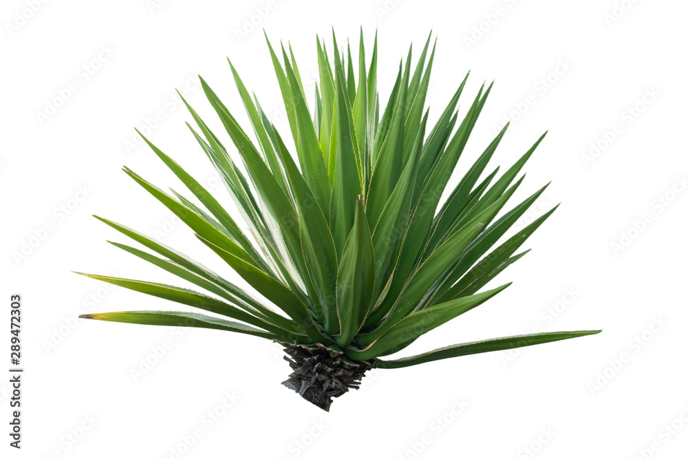 Fototapety, obrazy: Agave plant isolated on white background
