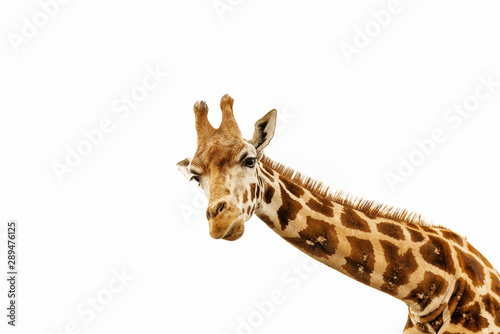 Close up shot of giraffe head isolate on white Wallpaper Mural