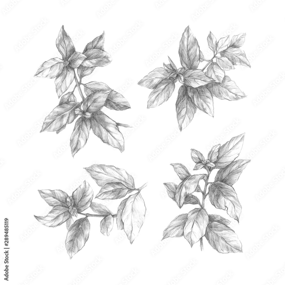 Fototapety, obrazy: Branches with leaves. Hand drawn botanical illustration. Pencil drawing.