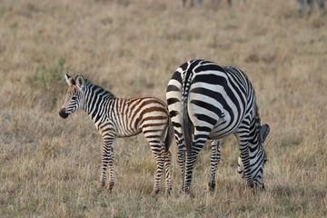 Fototapeta na wymiar Zebra mom and her calf in the savannah, Masai Mara National Park, Kenya.