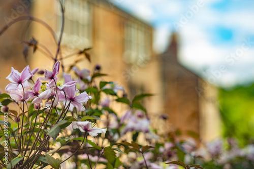 Clematis Grows In Gardens in Front of  Sandstone Glasgow  Tenement Flats