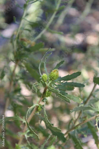 A shrub known to botany as Isocoma Acradenia, and commonly as Alkali Goldenbush, grows under the shade of Cottonwood trees in the riparian habitat of Big Morongo Canyon Preserve Canvas Print