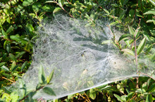 Dew Drops In Spider Web On Ear...