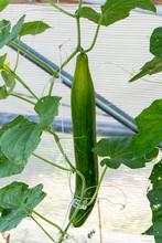 Organic Cucumbers Growing On V...