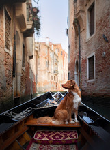 Dog In Venice On A Gondola. Nova Scotia Duck Tolling Retriever Is Traveling In An Old Town.