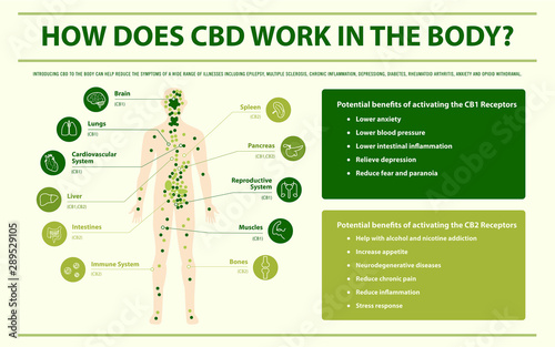 Fotografía How Does CBD Work In the Body infographic illustration about cannabis as herbal alternative medicine and chemical therapy, healthcare and medical science vector