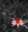 Blüte der Hauswurz in schwarz weiß mit Pink , mit Plazt für Schrift , Karte