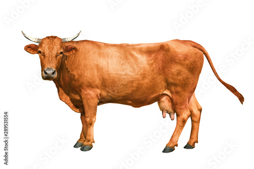 Tuinposter Koe brown cow isolated on a white background
