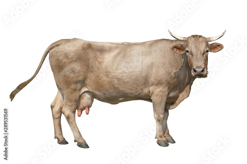 brown cow isolated on a white background