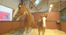 Baby Clydesdale And Adult Pare...