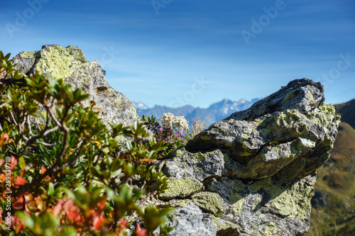 Fényképezés  Edelweiss zwischen Felsen in den herbstlichen Alpen