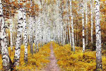 Panel Szklany Podświetlane Drzewa Autumn landscape with a birch forest. Trail in the middle of trees