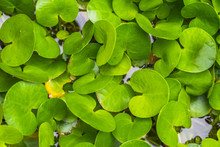 The Fresh Water Plants For Background