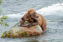 Brown Bear Eating Sockeye Salmon At Brooks Falls, Alaska