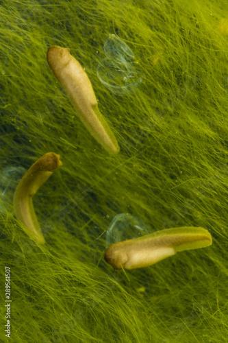 Fotografie, Tablou  Gray Tree Frog (Hyla versicolor), tadpole