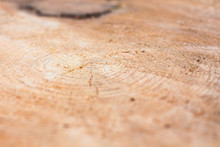 Conifer Tree Growth Rings, Sli...