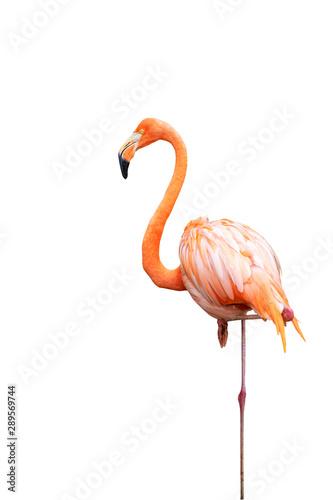Aluminium Prints Flamingo Flamingo isolated on white background with clipping path.