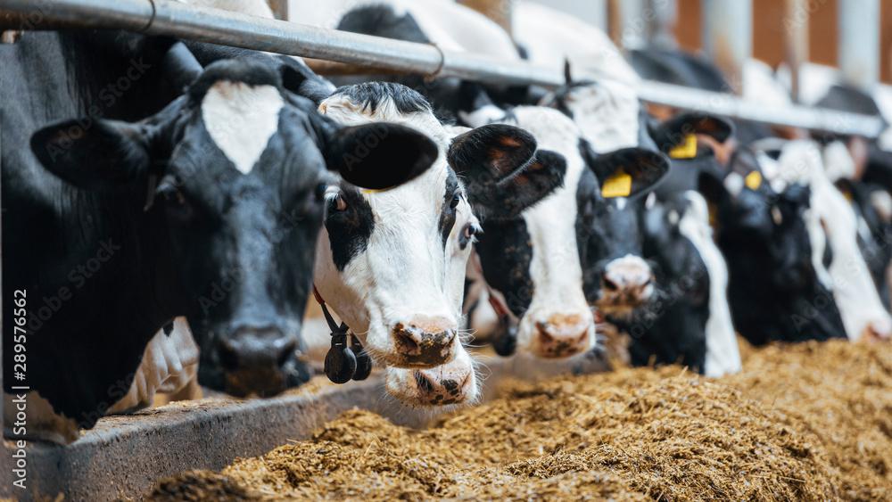 Fototapeta Dairy cows in modern automated milk farm.