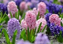 Beautiful Spring Flowers Hyaci...