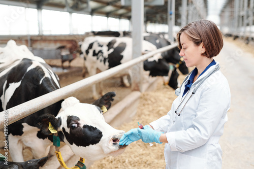 plakat Young female vet in uniform and protective gloves touching muzzle of dairy cow